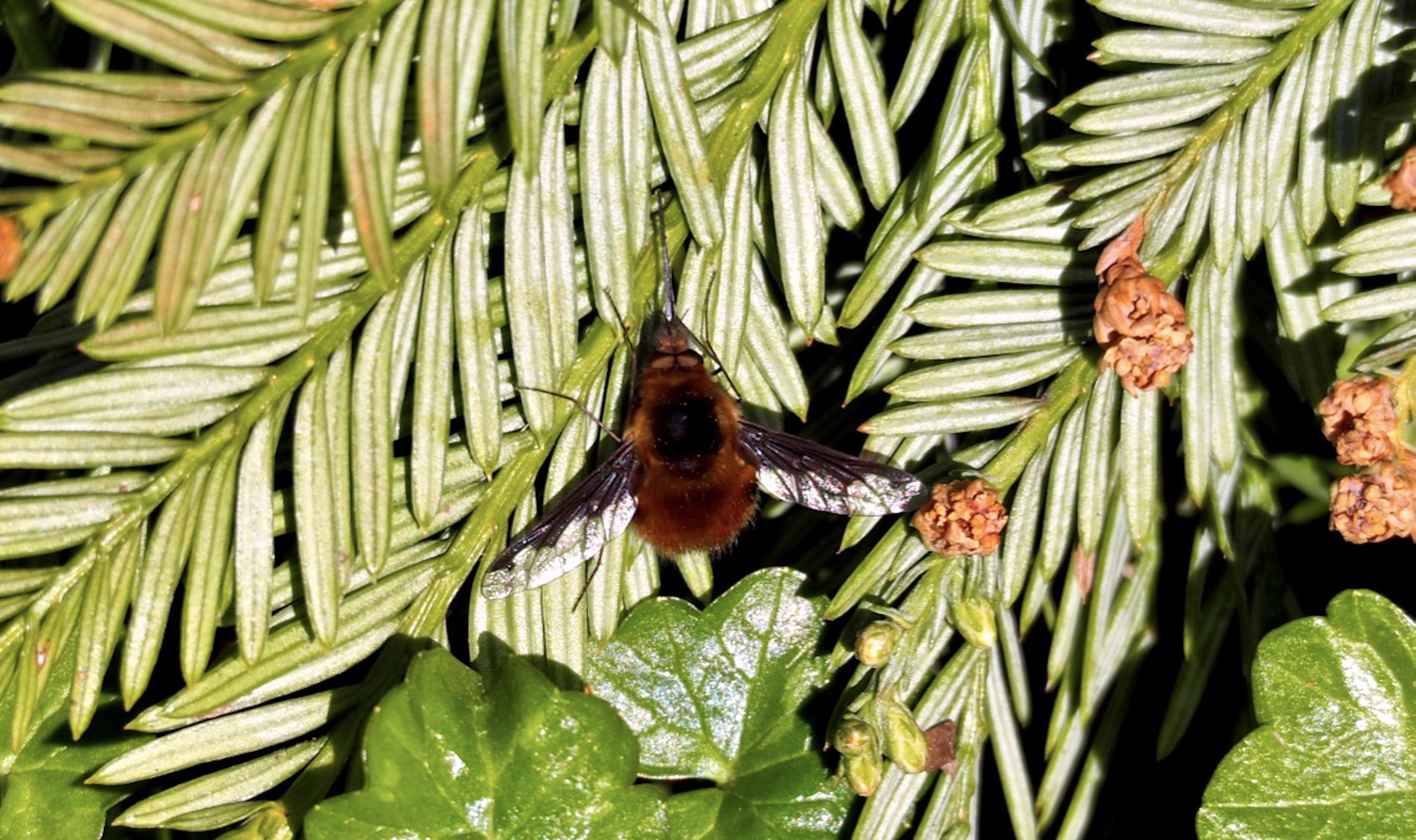 Bee-fly_©_Maria_Nunzia__Varvera