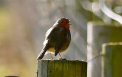 A Beau Geste of robins