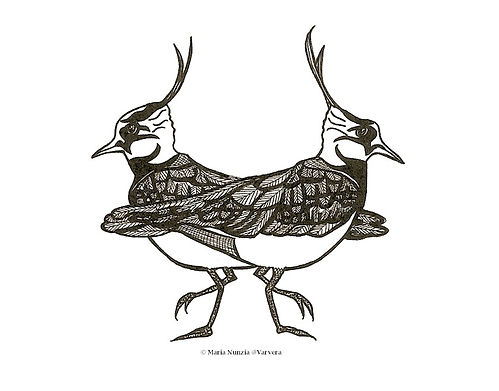 Chapter illustration Field Notes From The Edge Lapwings