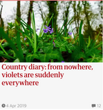 Country diary: from nowhere, violets are suddenly everywhere. Guardian Country Diary 4 April 2019