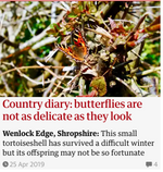Country diary: butterflies are not as delicate as they look. Guardian Country Diary 25 April 2019