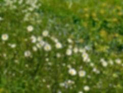 Ox-eye daisies © Maria Nunzia @Varvera