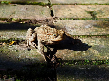 Toad photographed by Maria Nunzia @Varvera