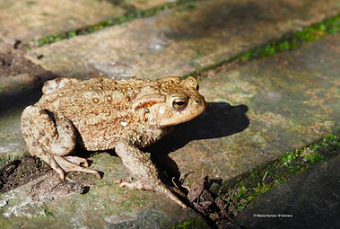 Toad photograph by Maria Nunzia @Varvera