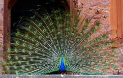 Peacock at Powis Castle