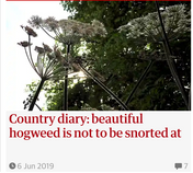 Country diary: beautiful hogweed is not to be snorted at. Guardian Country Diary 26 May 2019