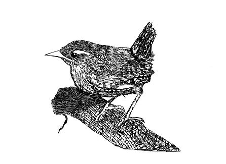Wren How To See Nature by Paul Evans .jp