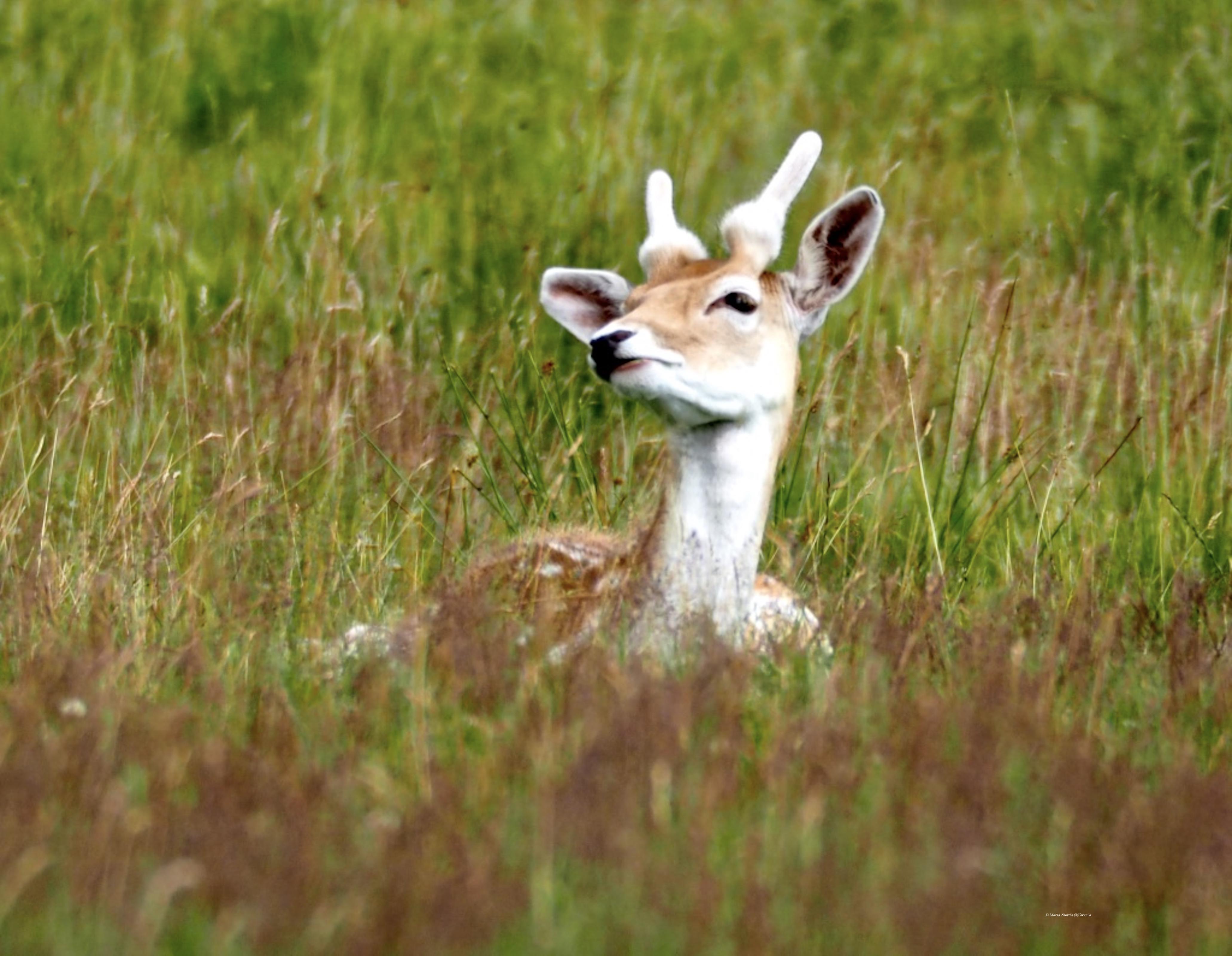 Fallow_Deer_©_Maria_Nunzia__Varvera_P1010286_1024