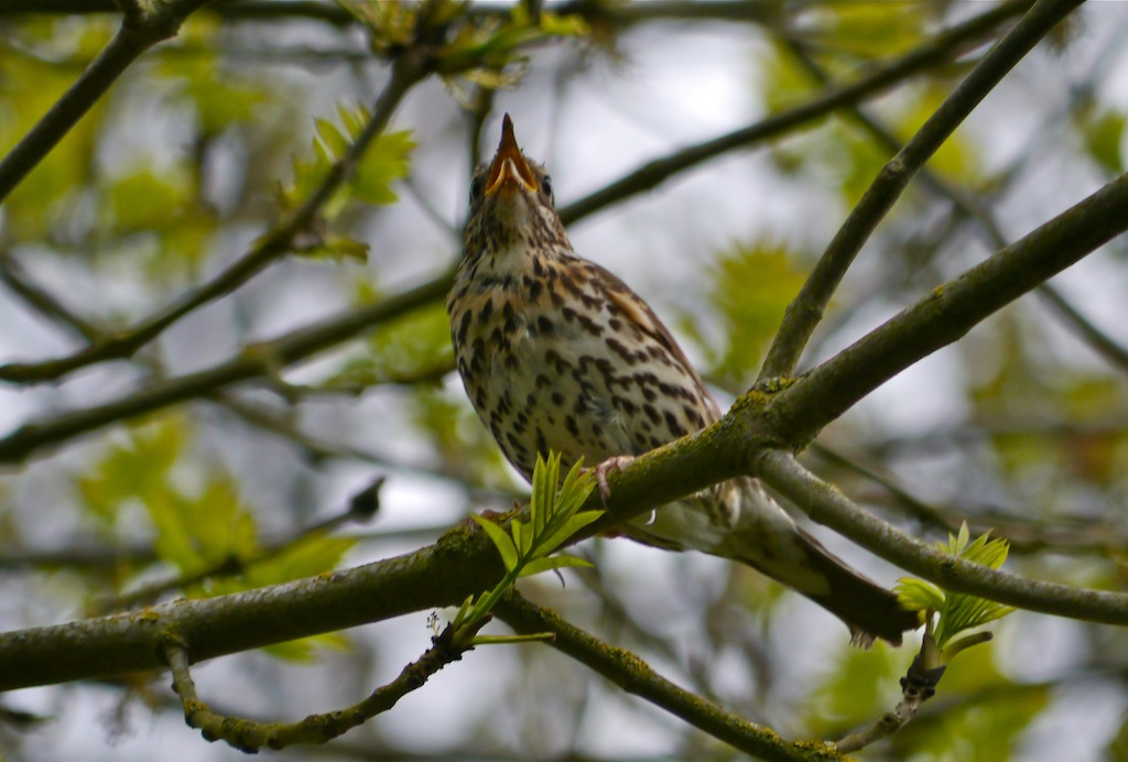 Song thrush bursts with soul