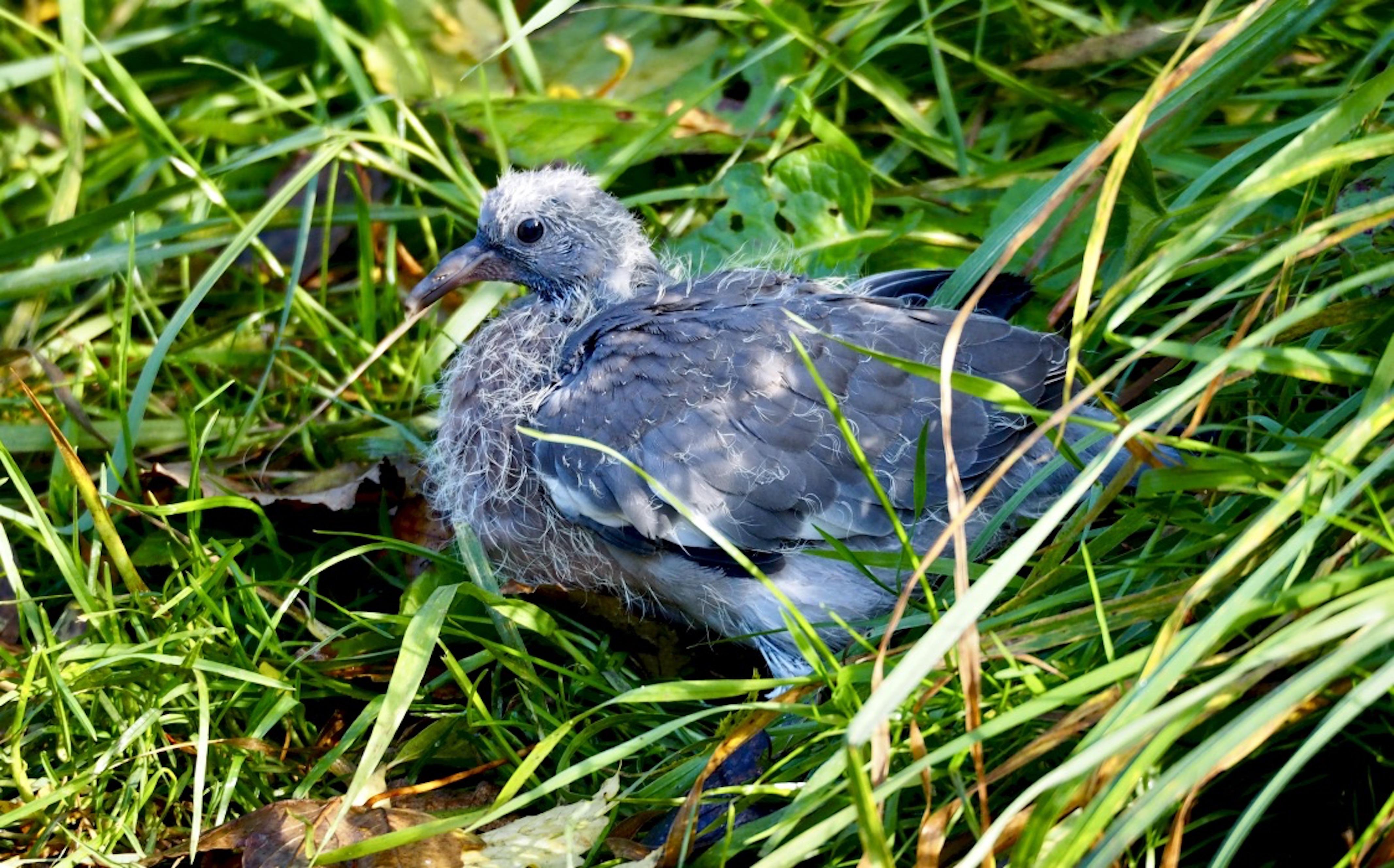 Wood_pigeon_squab_©_Maria_Nunzia__Varvera_