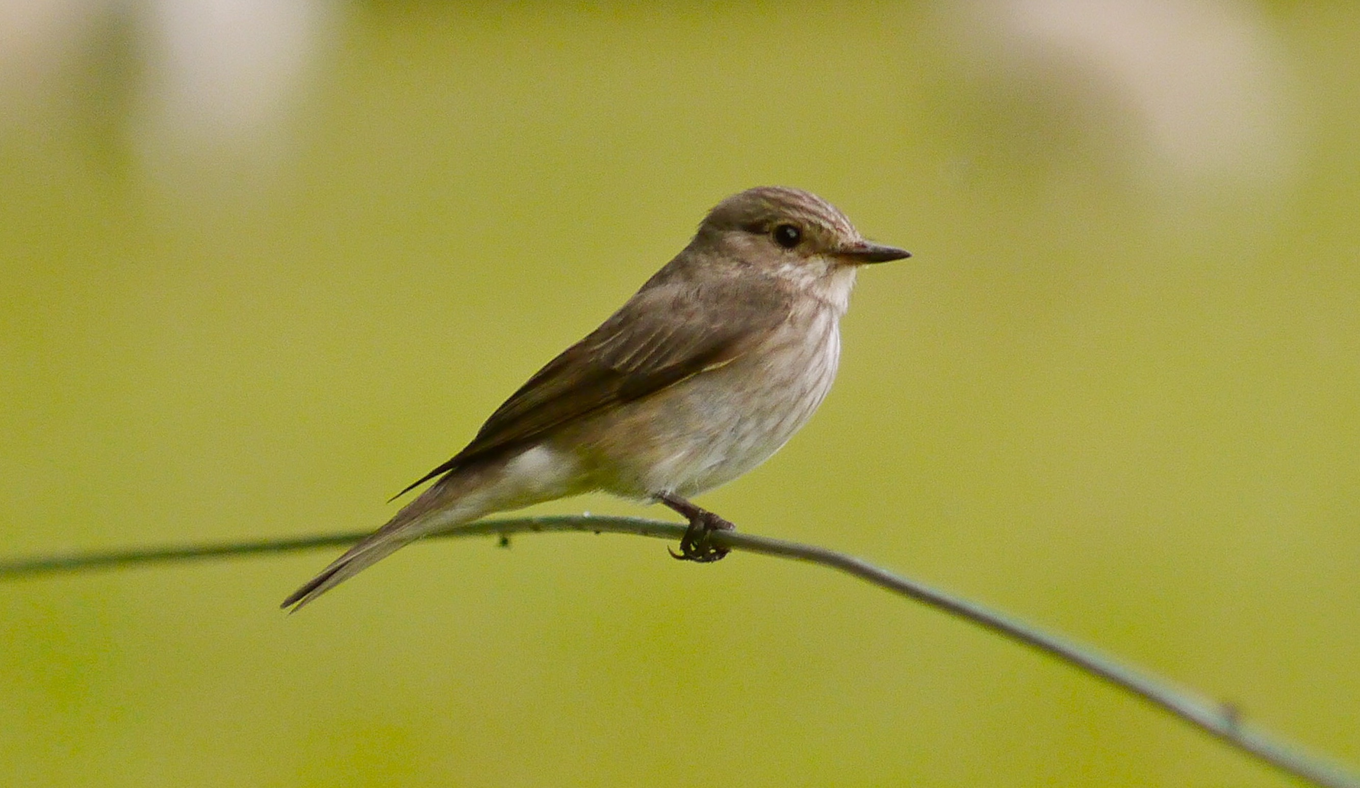 The flycatcher and the fly