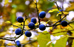 Beguiling berries wait for the birds
