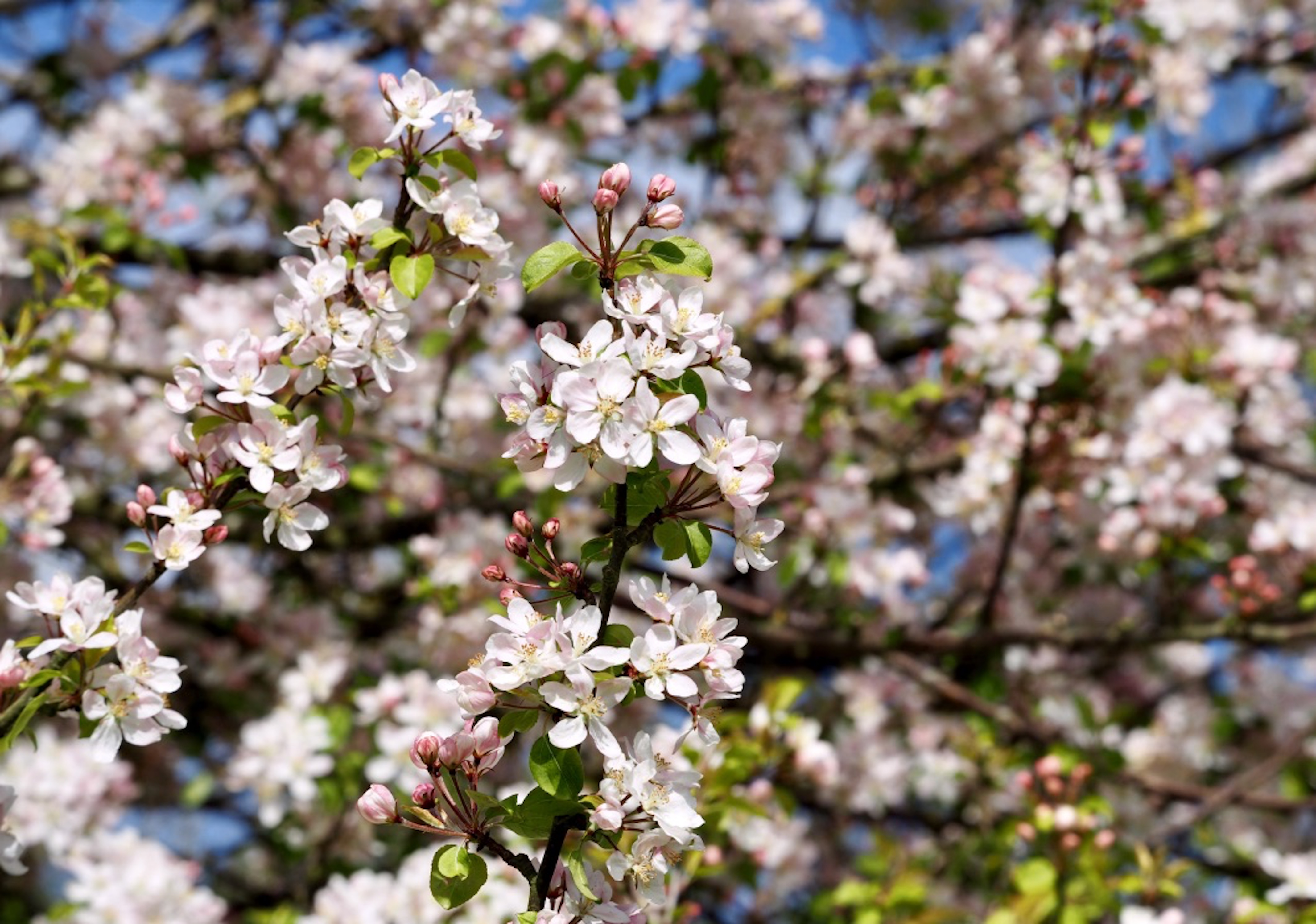 apple-blossom_©_Maria_Nunzia__Varvera
