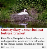 Country diary: a swan builds a fortress for a nest. Guardian Country Diary 23 May 2019
