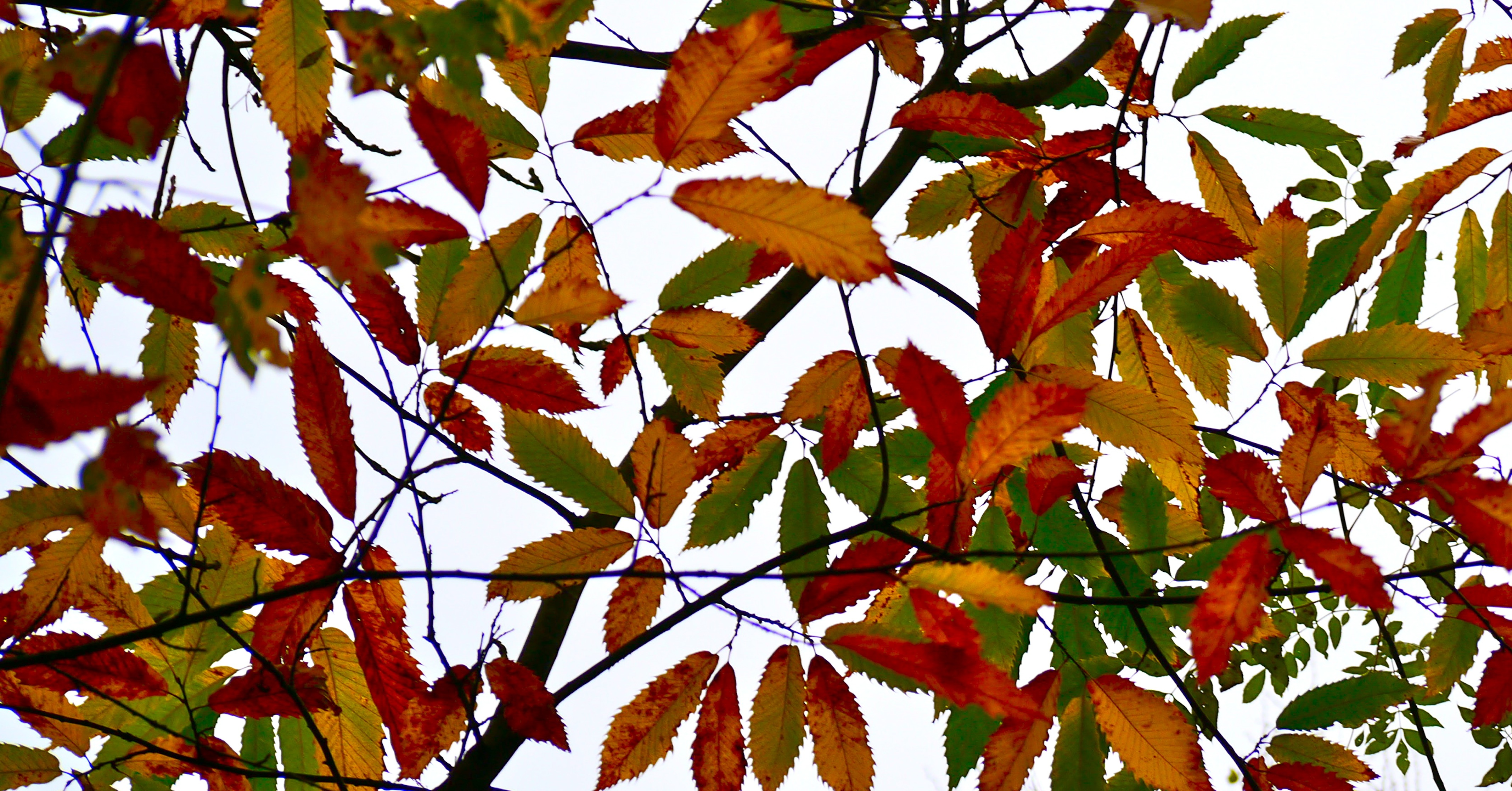 Leaves turning fiery