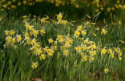 Daffodil photograph taken by Maria Nunzia @Varvera