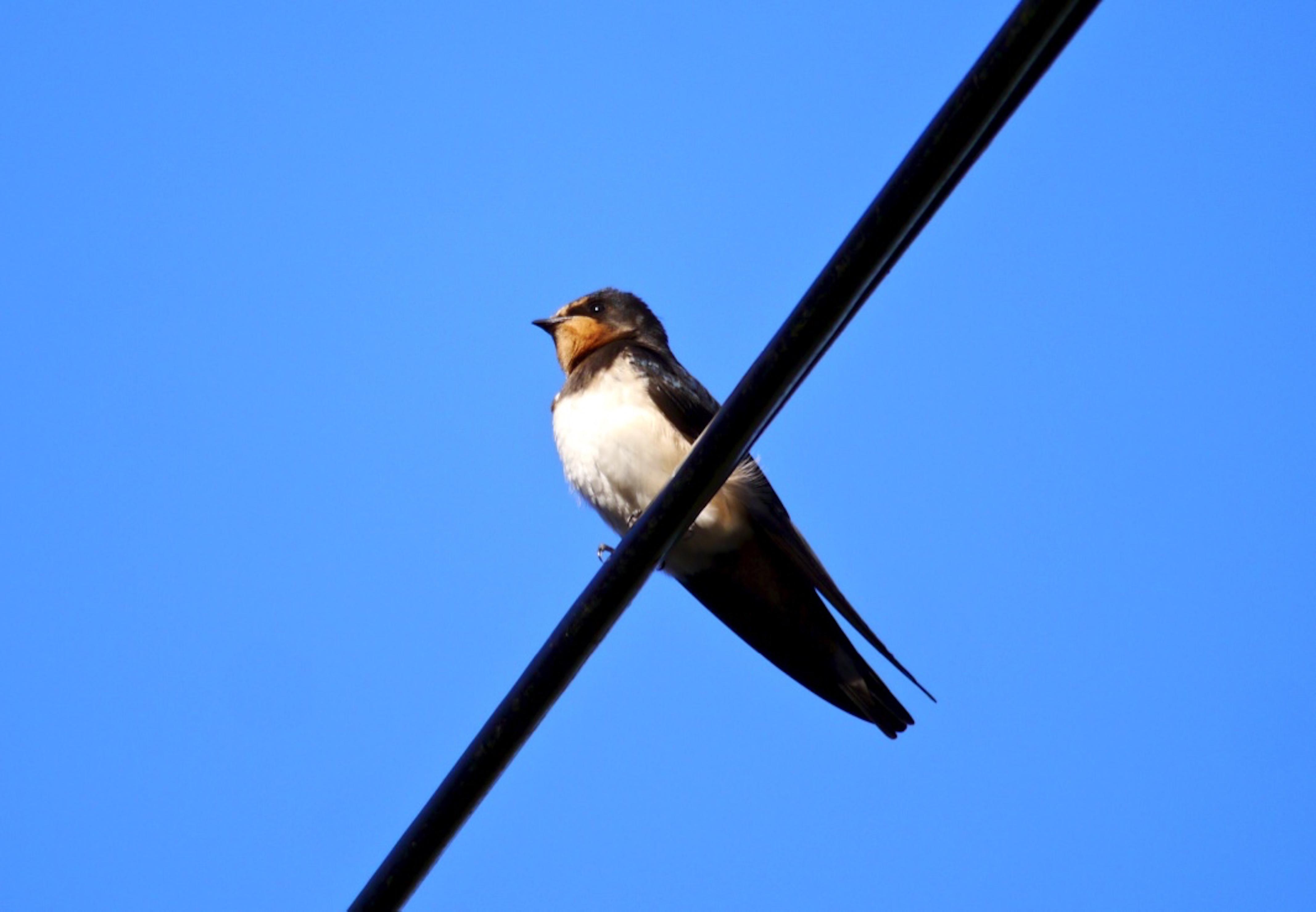 Swallow_©_Maria_Nunzia__Varver_