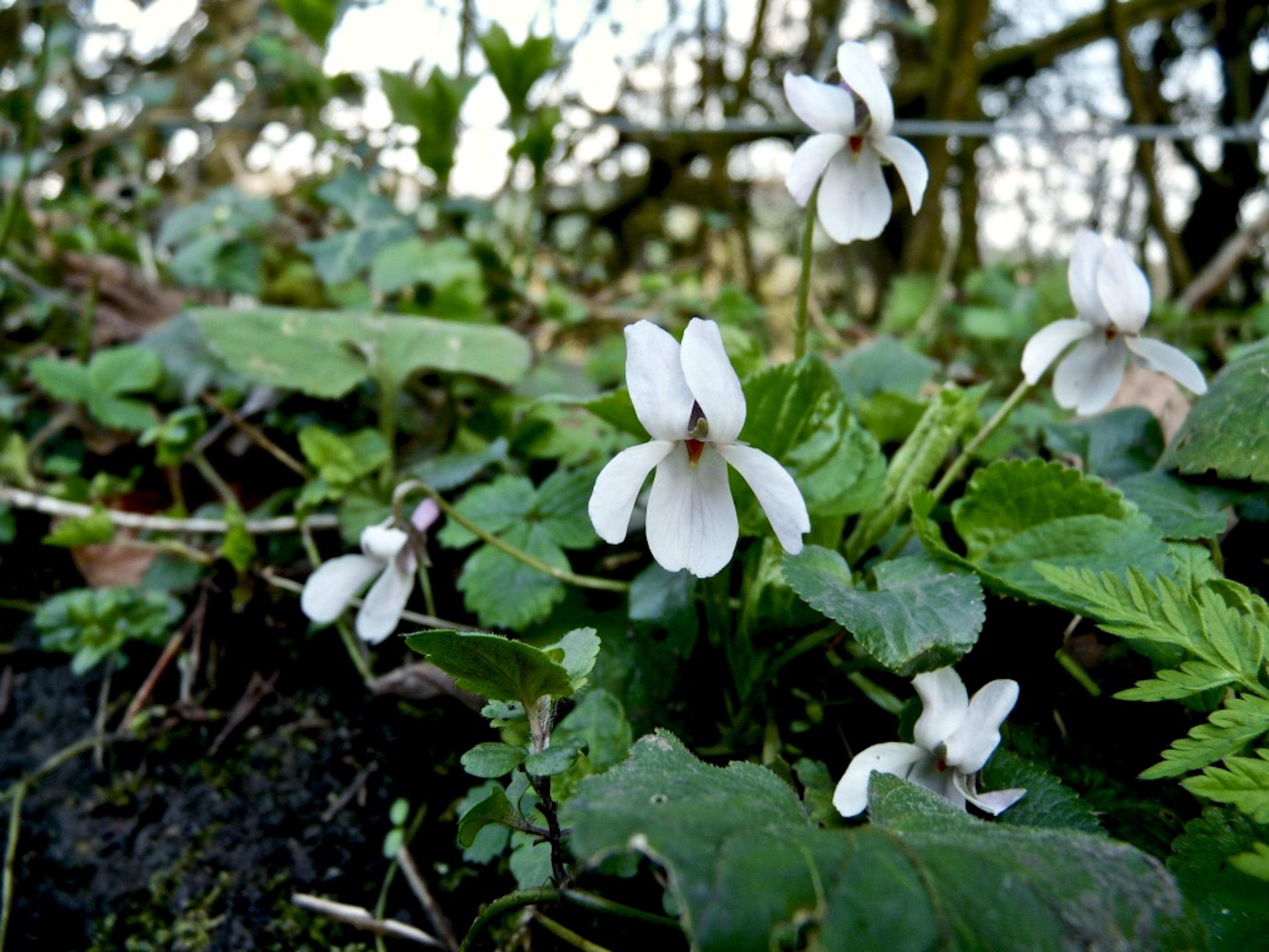 White_violets_©_Maria_Nunzia__Varvera_