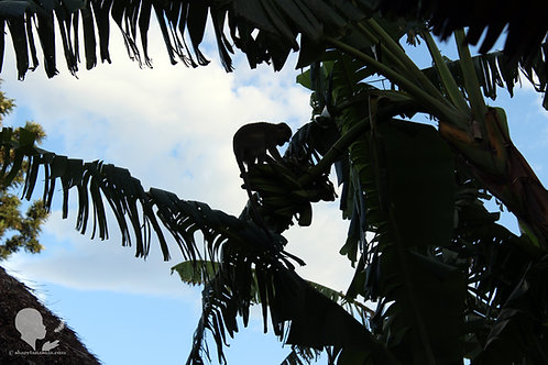 Monkey in Palm Tree (Digital Copy)