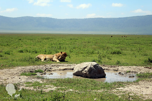 Lion in Ngorongoro Crater (Digital Copy)