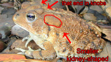 Bufo Toads and Your Dog