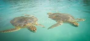 Les tortues de Hoopers Bay