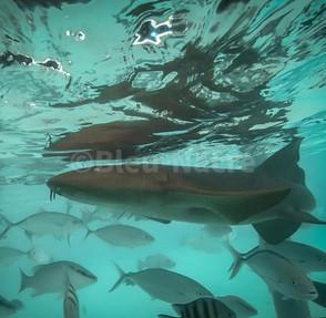 Les requins nourrice de Compass Cay