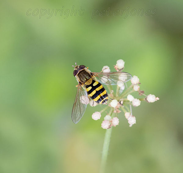 hoverfly_II