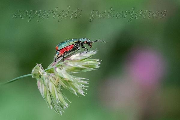 beetle_II