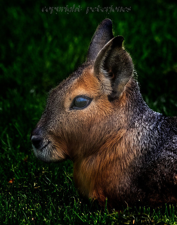 zoo photography patagonian cavy.jpg