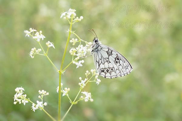 male marbled white.jpg