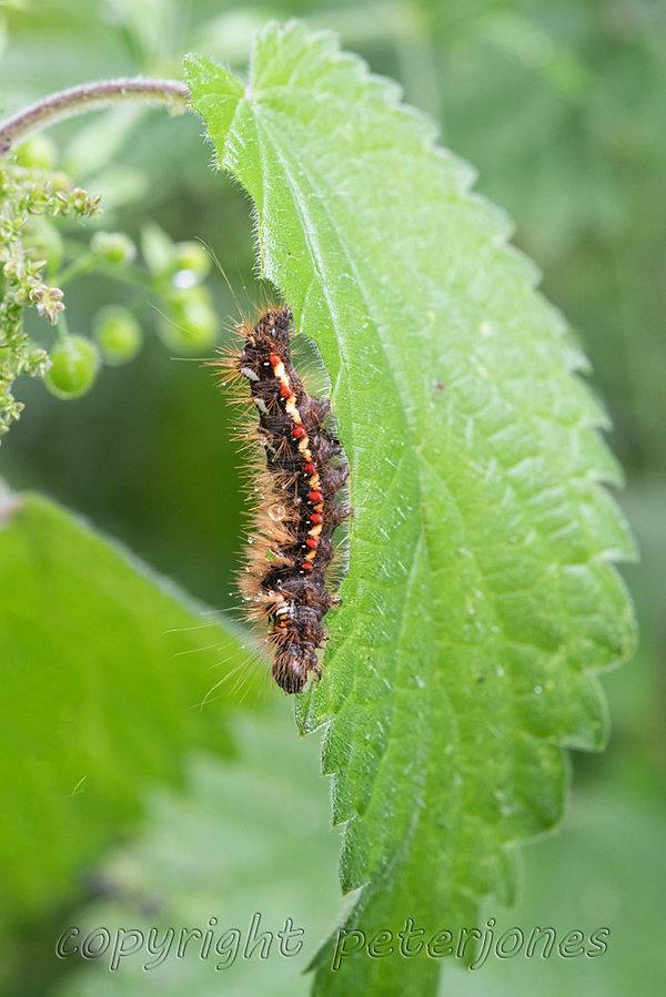 knot grass moth caterpillar.jpg