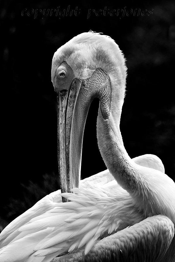 zoo photography pelican_II.jpg