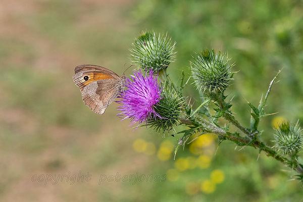 background, meadow brown butterfly.jpg