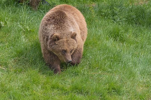 zoo photography brown bear (2).jpg