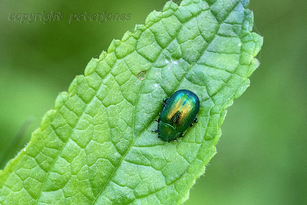 mint beetle.jpg