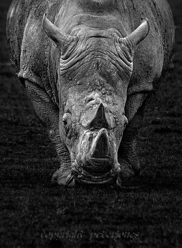 zoo photography rhino.jpg