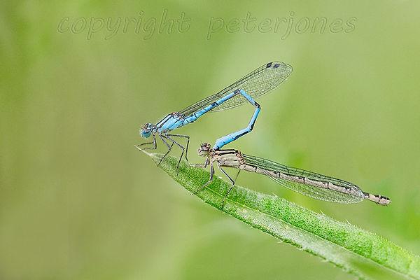 mating blue damselflies.jpg