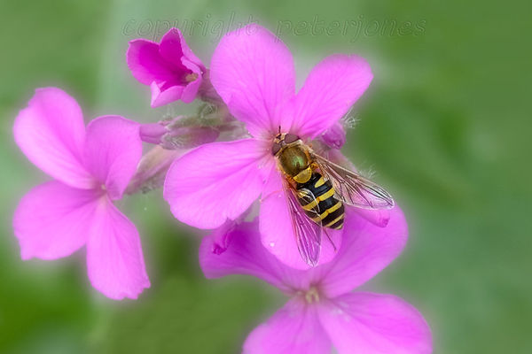 hoverfly_IV