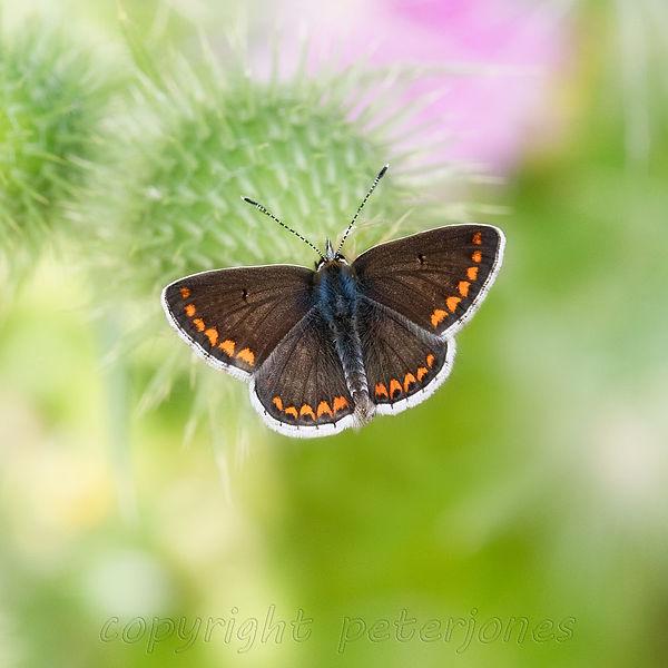 brown argus butterfly.jpg