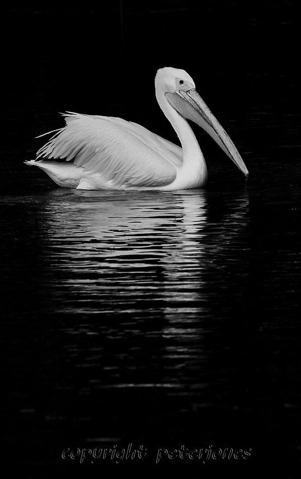 zoo photography pelican.jpg