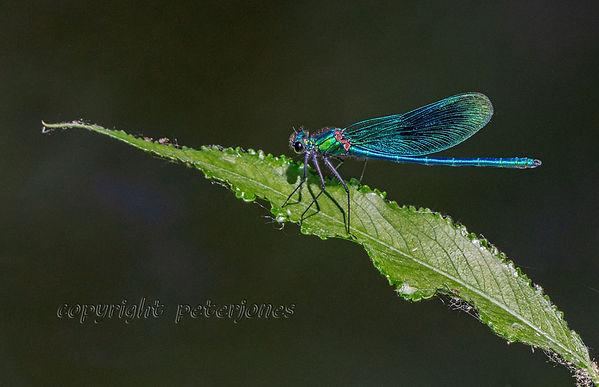 blue banded demoiselle.jpg
