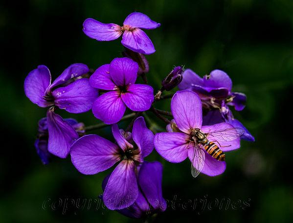 marmalade hoverflies.jpg