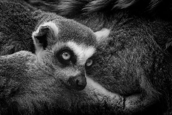 zoo photography lemur.jpg