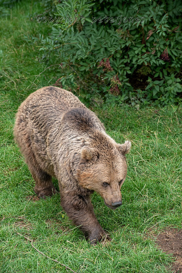 zoo photography brown bear (9).jpg