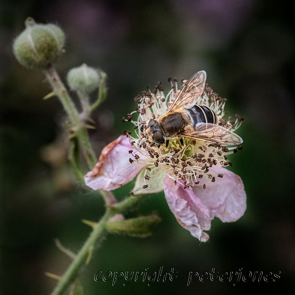 female Eristalis nemorum.jpg