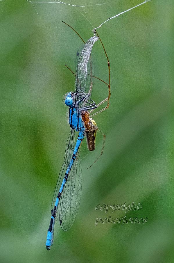 stretch spider eats blue damselfly.jpg