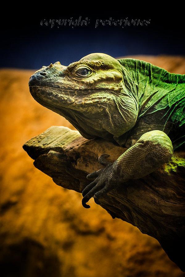zoo photography lizard.jpg
