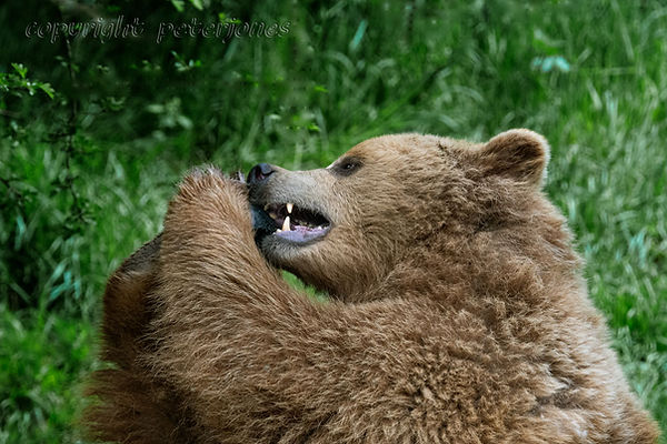 zoo photography brown bear_II.jpg