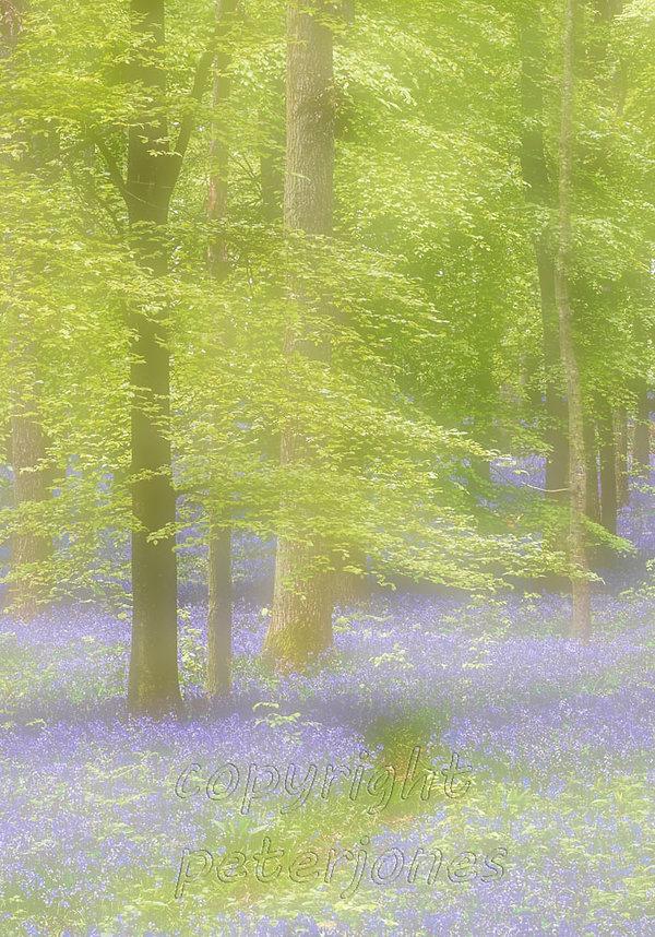 bluebell woods.jpg